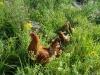 Заботливая курица мать
