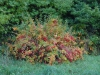 Хеномелис цветет