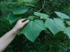 Листья клена зеленокорого