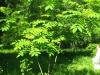 Молодое деревце маньчжурского ореха