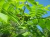 Недозрелые маньчжурские орехи