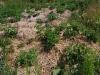Картошка растет под соломой