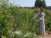 Целая гряда с растениями на семена