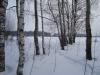 Березки зимой