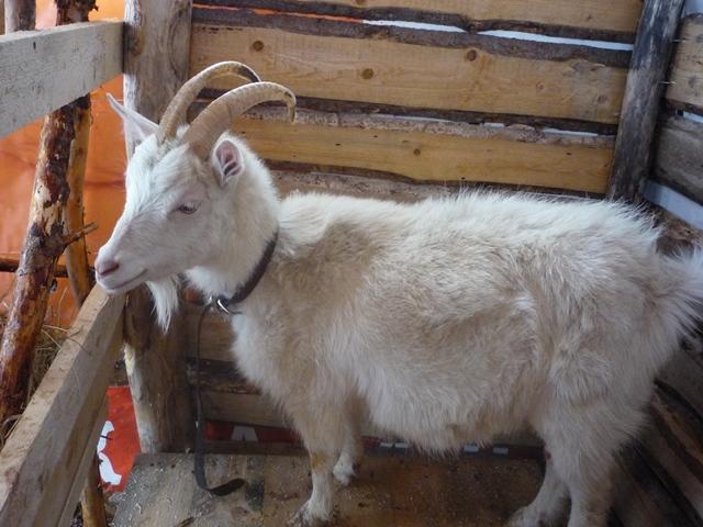 как поиметь козу рассказ
