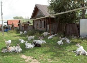 Козы в деревне